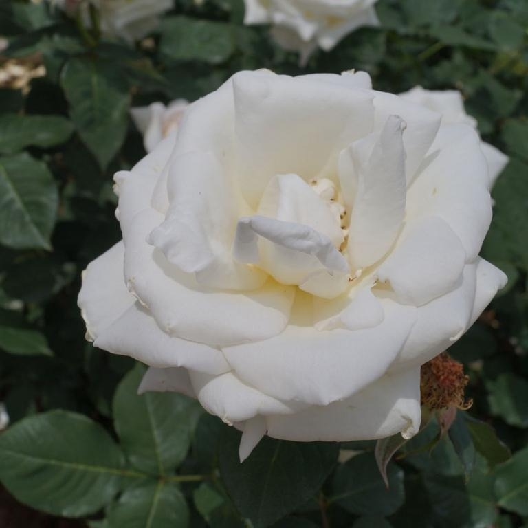 В тема-парке роз в Тёфу; Токио