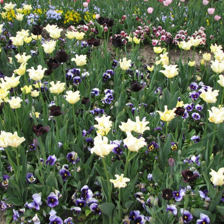 Конец апреля - пик цветения тюльпанов; Тояма