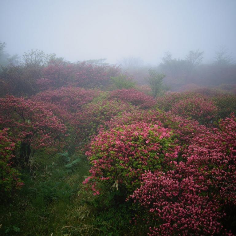 Парк азалий в тумане; Тотиги