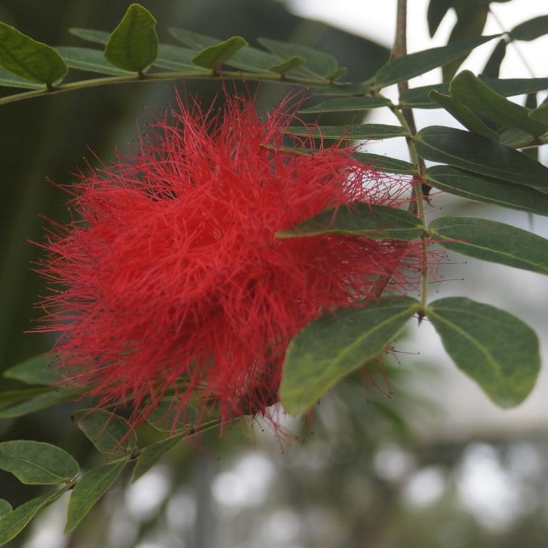 Акация в цветочном парке г.Тиба; Тиба