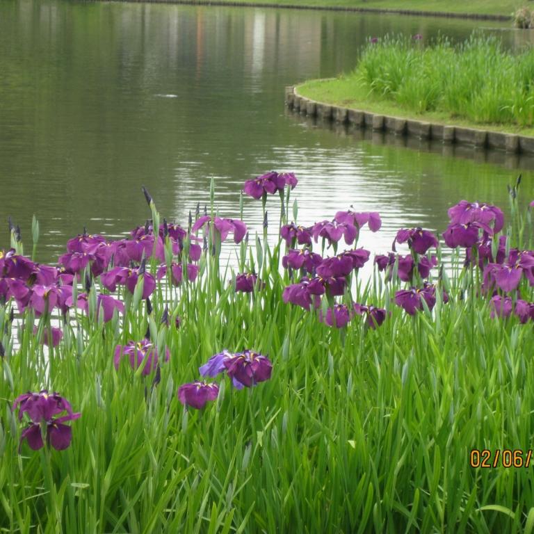 Ирисы в саду СанкэйЭн в июне; Канагава