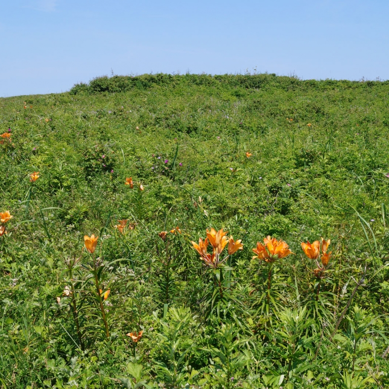 Луговые цветы на равнинном берегу Охотского моря; Хоккайдо