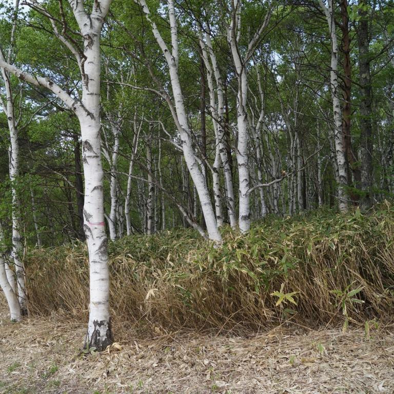 Березки - тоже японские деревья, но только в горах; Нагано