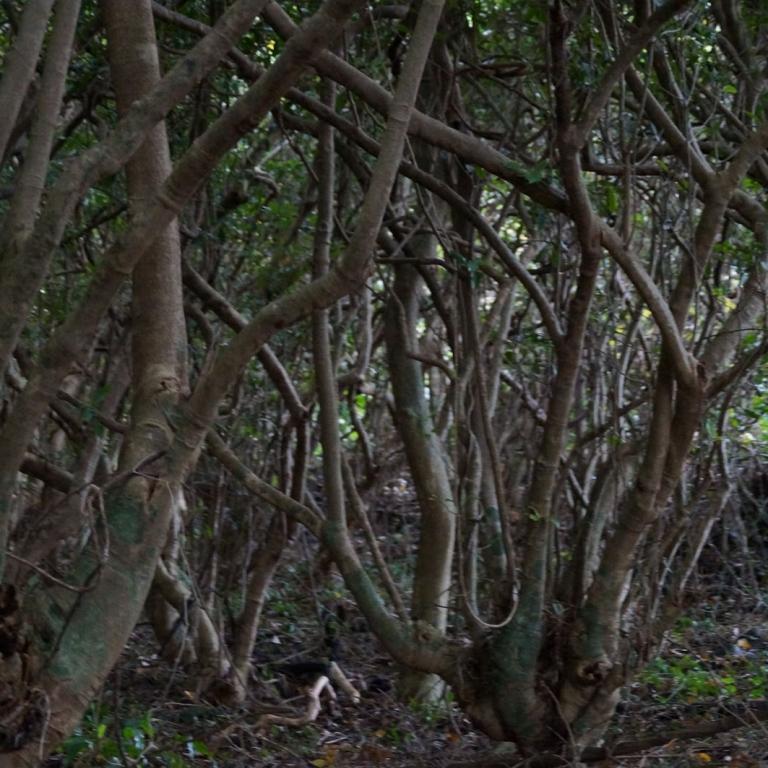 Мангровые леса на о.Якусима; Кагосима