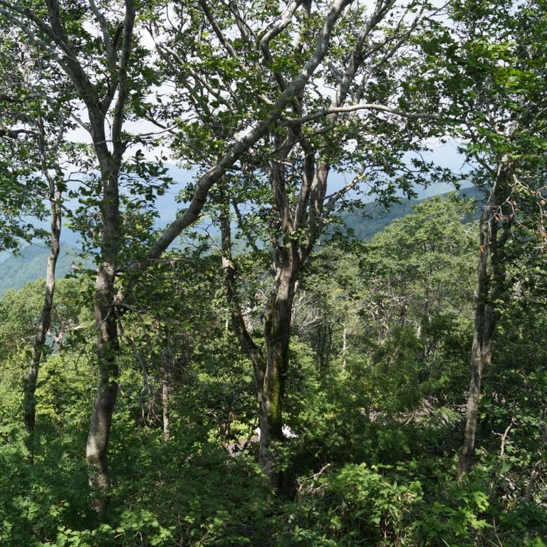 Буковые леса заповедника Сираками; Акита