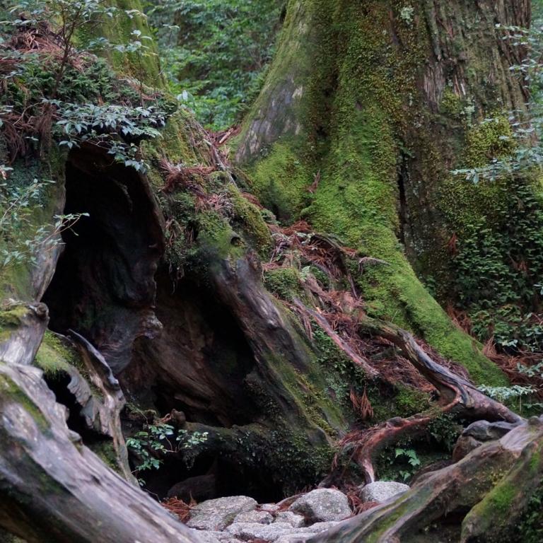 Древние кедровые леса о.Якусима; Кагосима