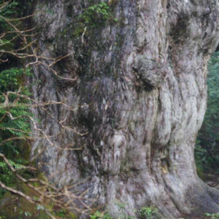 ДзёмонСуги; древнейший кедр на о.Якусима; Кагосима