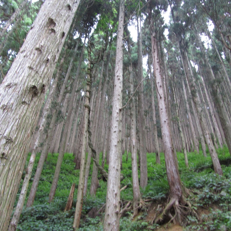 Лес в Адской долине ДзигокуДани; Нагано