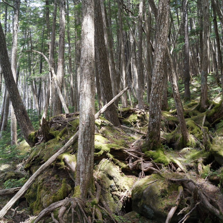 Горный лес в мае в высоте 2 км; Нагано