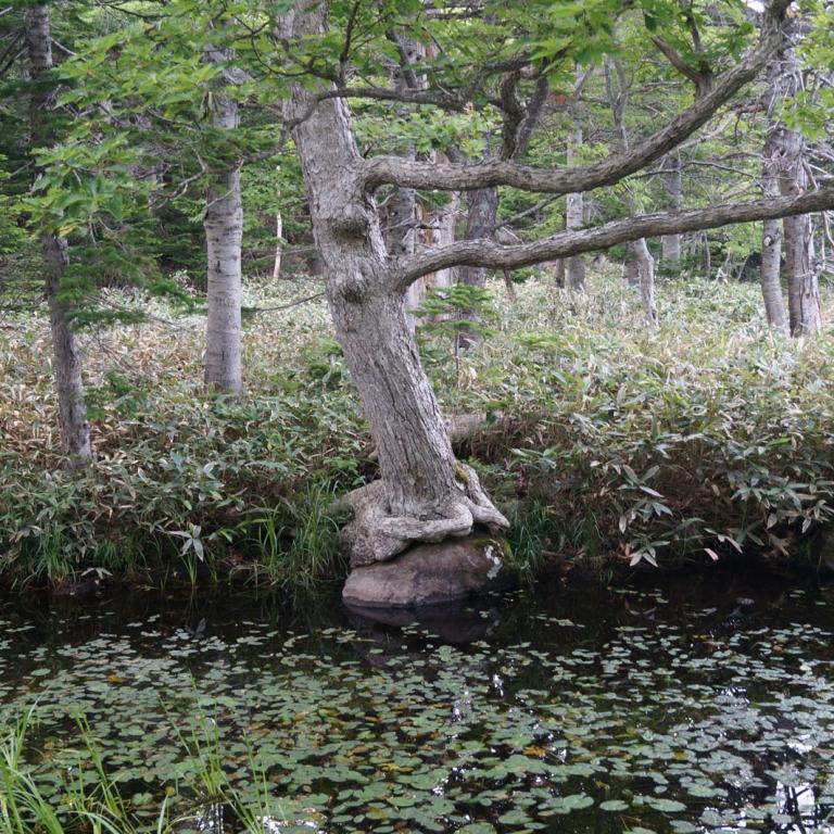 Болотистый лес в районе Пяти озер на п-ове Сирэтоко; Хоккайдо