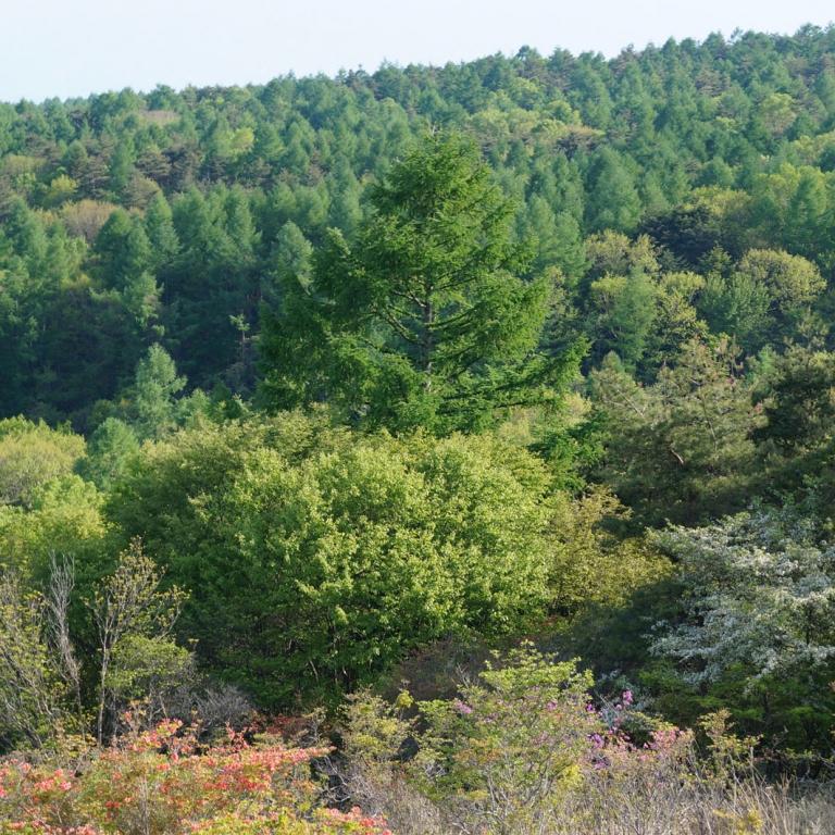 Еловые леса восточного склона хребта Яцугатакэ; Яманаси