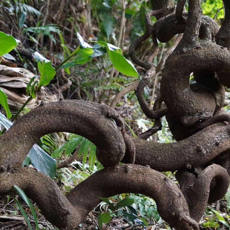 Ветви в форме змеи; лес на о.Якусима; Кагосима