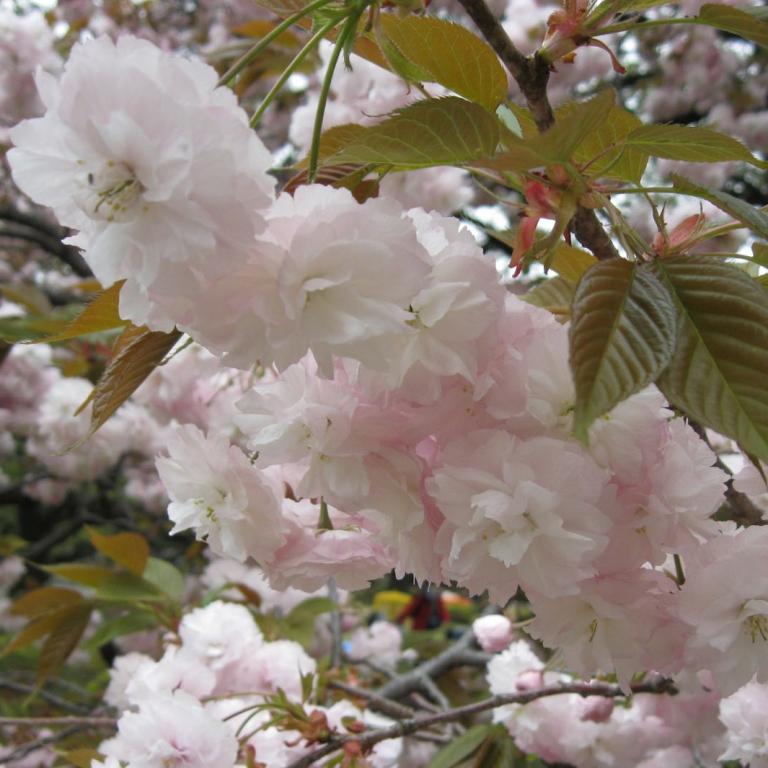 Поздний период цветения - уже видны листья; Токио