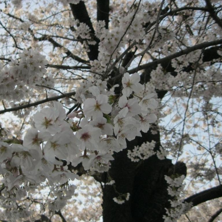 Пик цветения сакуры; Токио
