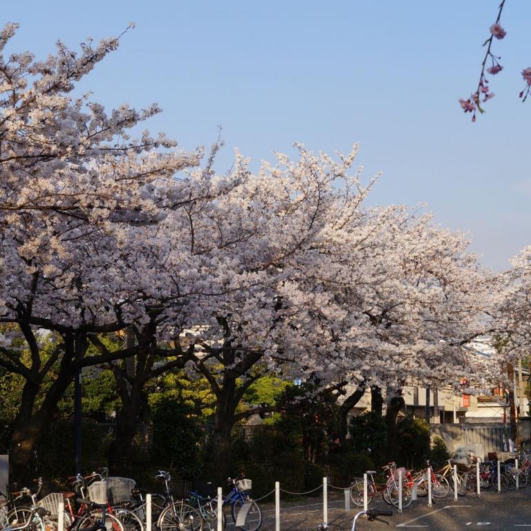 Ряды деревьев сакура на кладбище Аояма; Токио